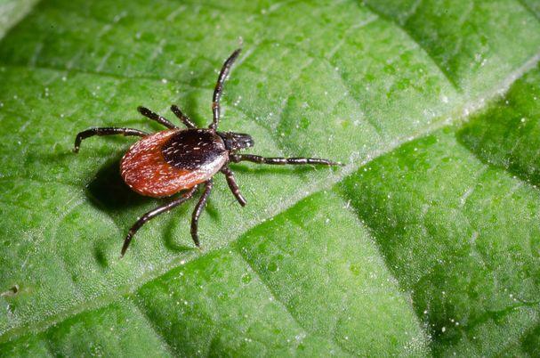 A tick lays on a leaf