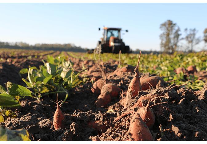 Sweet Potato Harvesting