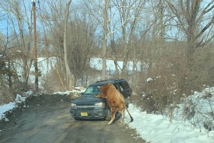 Jersey Bull Attack