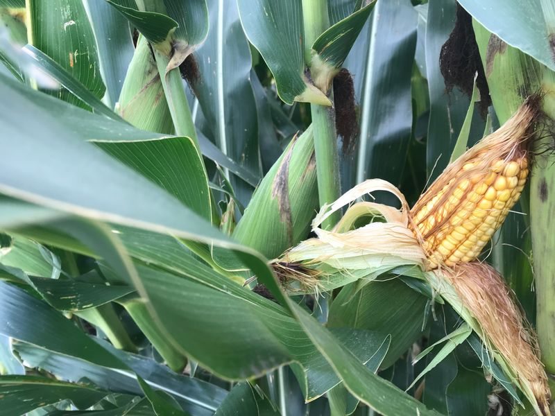 Fifty crop scouts kicked off the second day of the western leg of the Pro Farmer Midwest Crop Tour in Hamilton County and York County, Neb. So far, they're impressed with the corn's potential.