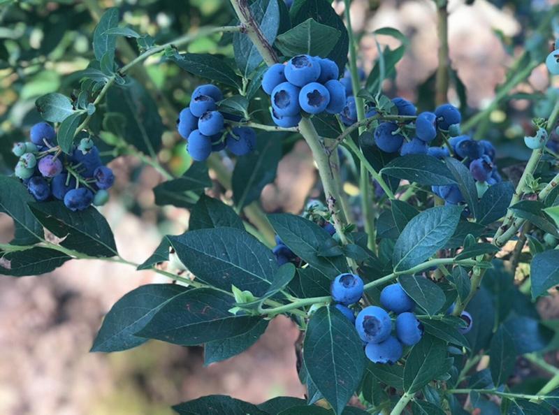 cal-giant-blueberries