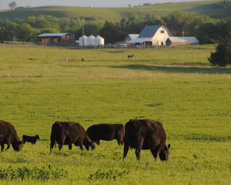 Downey Ranch grazing cow calf angus flint hills kansas