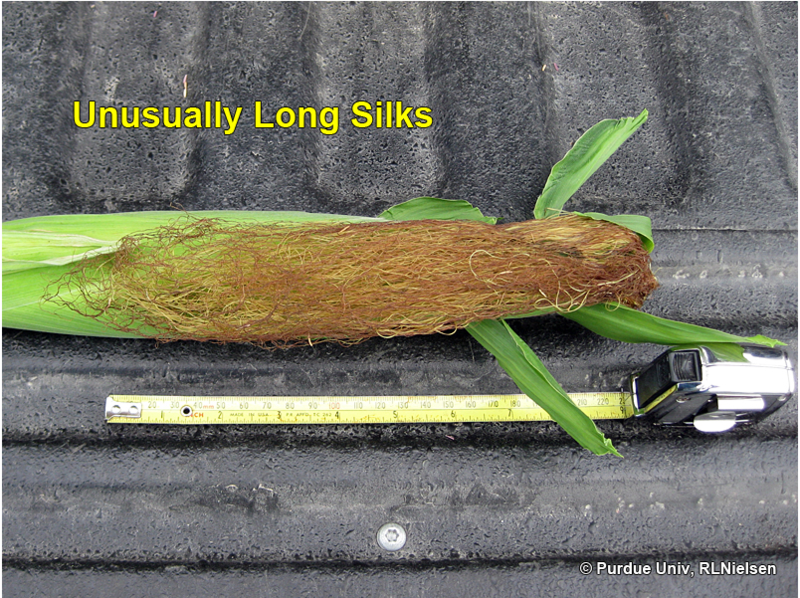 Certain areas of the country might be seeing extra-long silks on corn. This leaves many farmers with questions about what that means and if it will be a net positive or negative on pollination and overall yield.