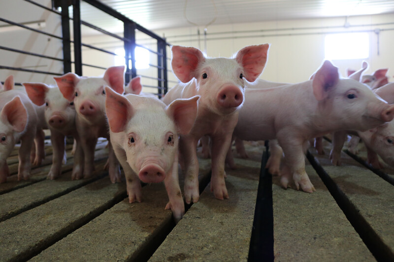 Pigs at Wakefield Pork