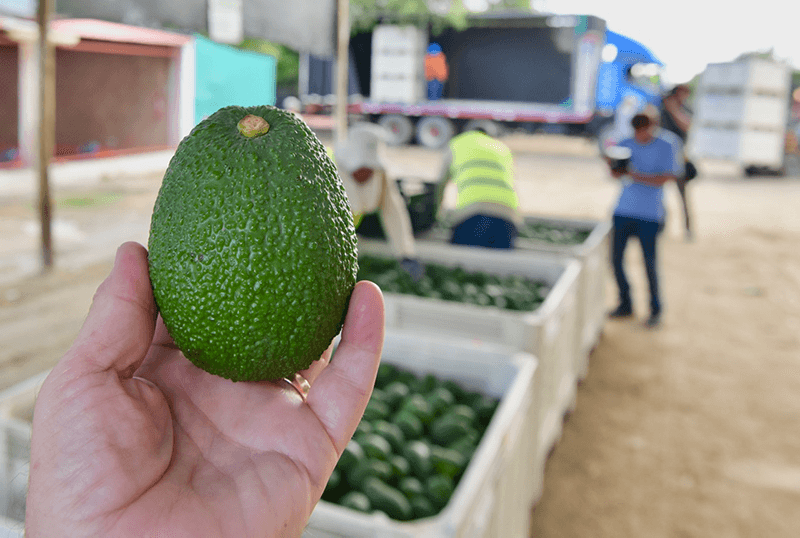Mission-Produce-Peru-avocado-closeup
