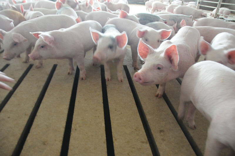 Piglets_pigs_baby swine (69)