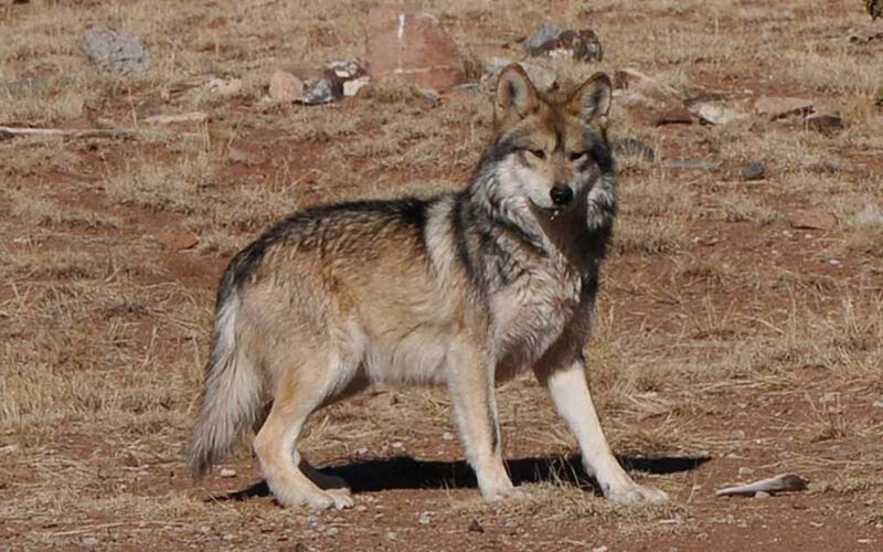 USFWS Mexican Gray Wolf