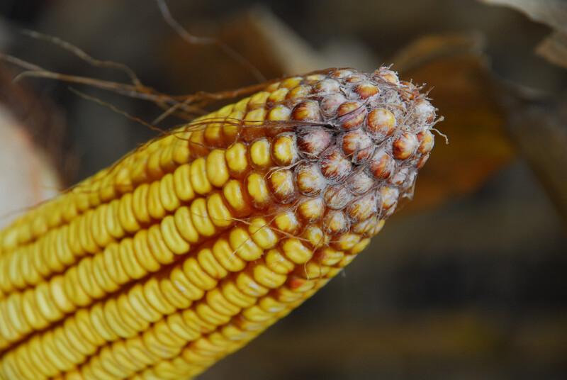 Moldy corn 12