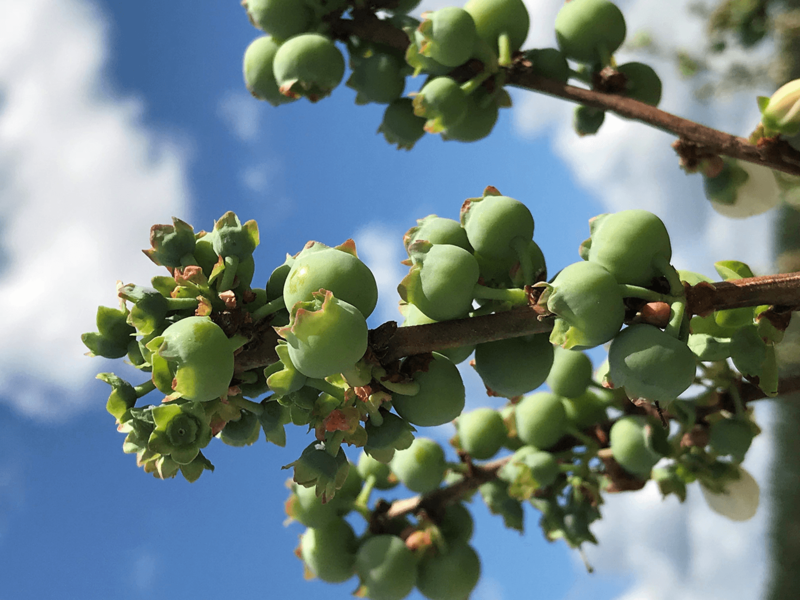 Despite widespread damage to the crop as reported by a survey of Florida blueberry growers, the Florida Blueberry Growers Association is predicting a good season for the fruit.