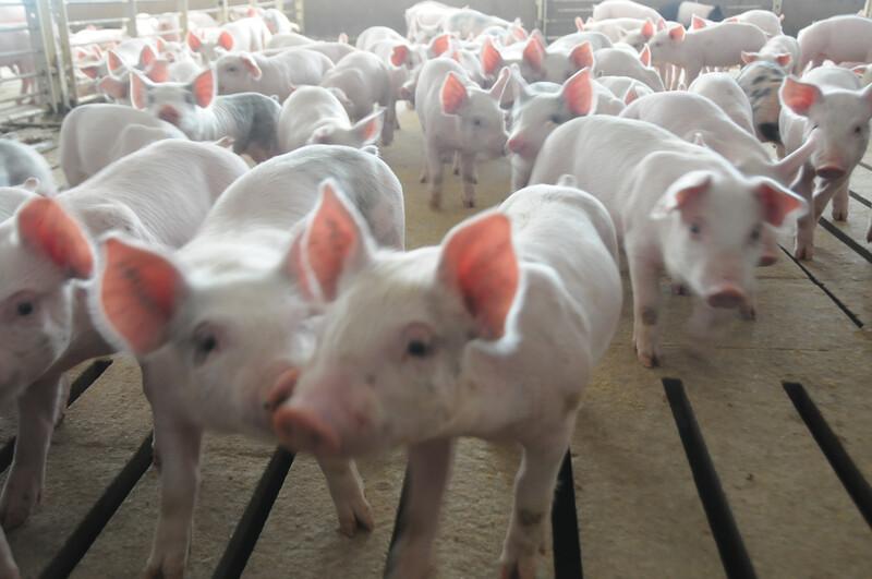 Piglets_pigs_baby swine (74)