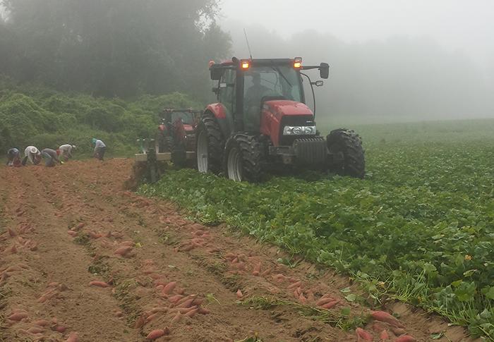 Burch-Farms-sweet-potato-harvest