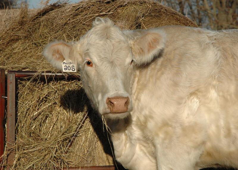 hay Charolais cow winter