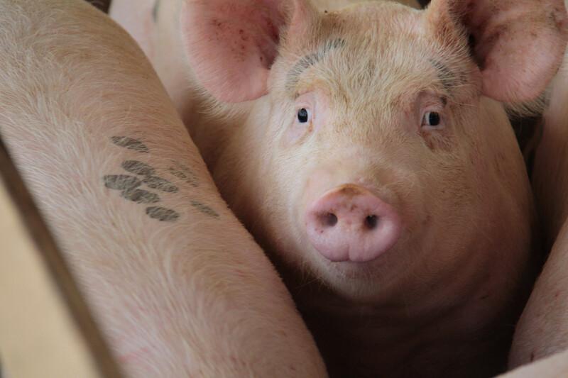 Market hog
