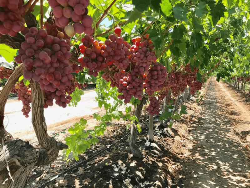 Fruit-Royale-grapes-magenta