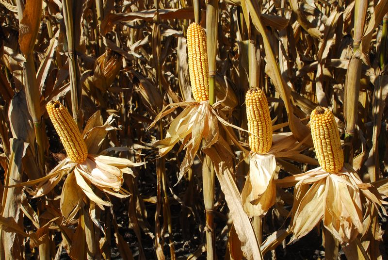 Corn ears- McLaughlin farm 11