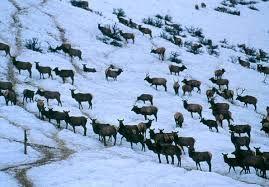 Elk-USDA