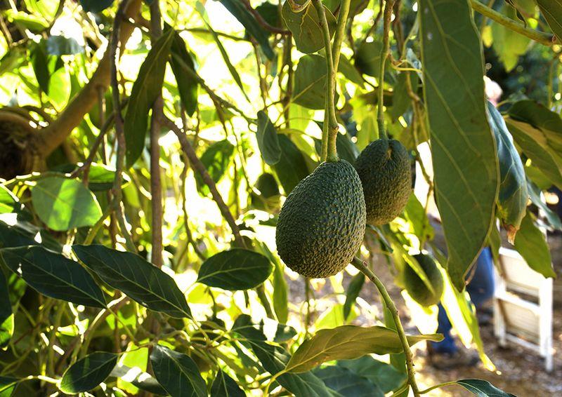 Index-Fresh-avocado-tree