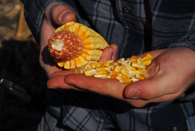 Hands shelling corn 12