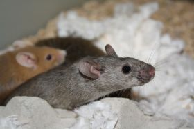 brown-mouse-Speaking-of-Research