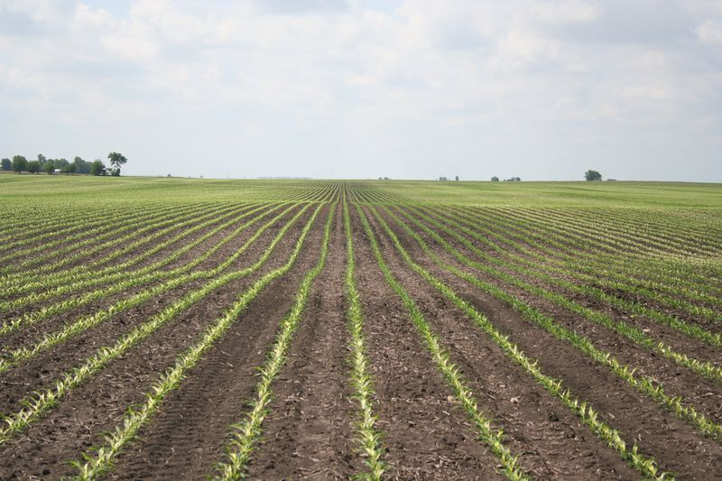 In this week's Boots In The Field report Ken covers: Iron chlorosis in areas that got rain, growth standing still and slowed down metabolism in dry areas, and the catch 22 of dinging corn or killing weeds.