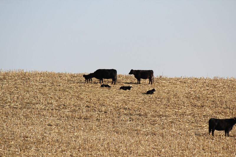 UNL Cow-calf Pairs on Cornstalks