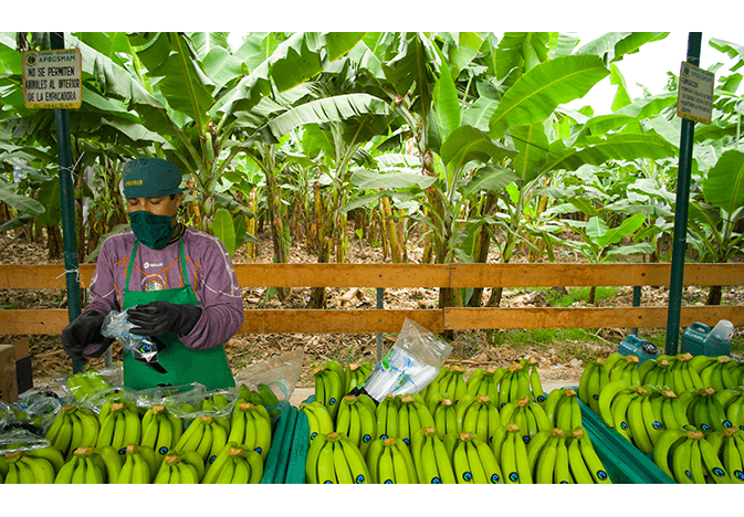 Fairtrade America bananas