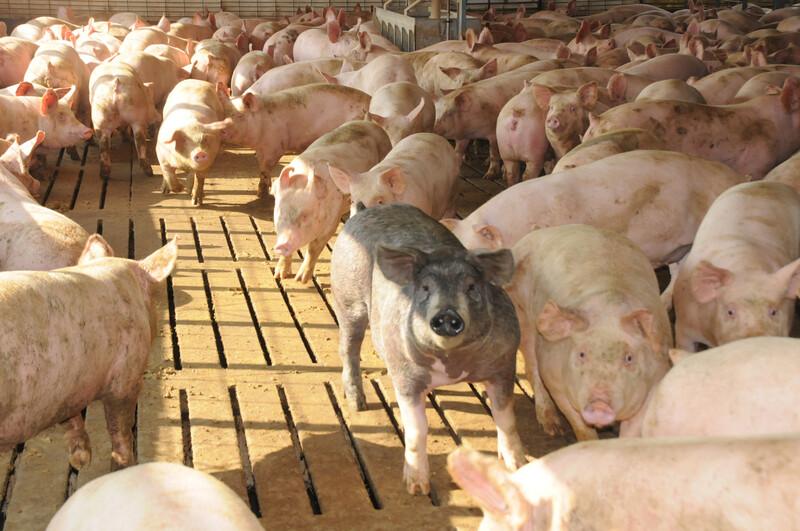 hogs_pigs (42)