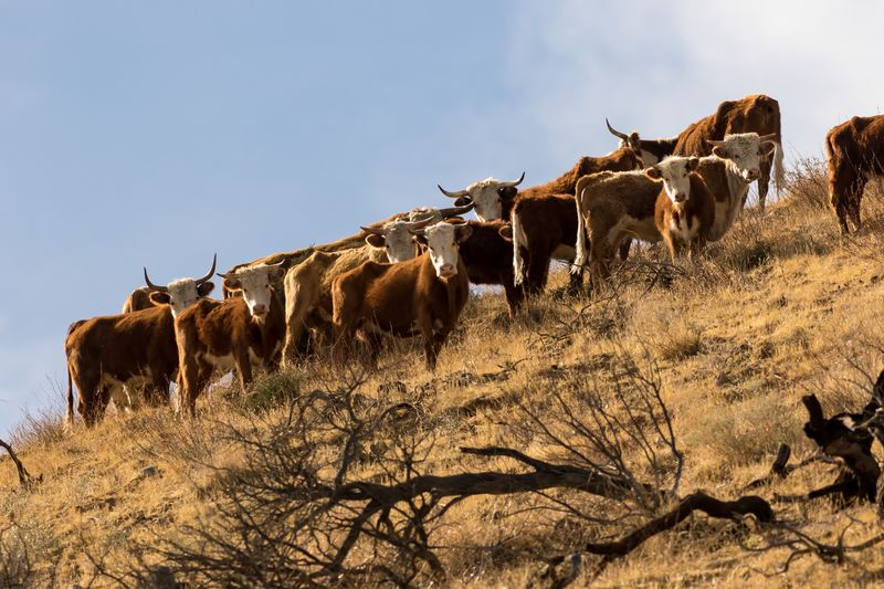 A herd of least 150 feral cattle have become more than a nuisance in one of Southern California's popular hiking areas.