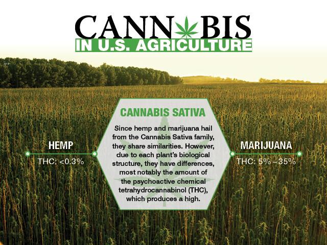Main Image - Cannabis Sative