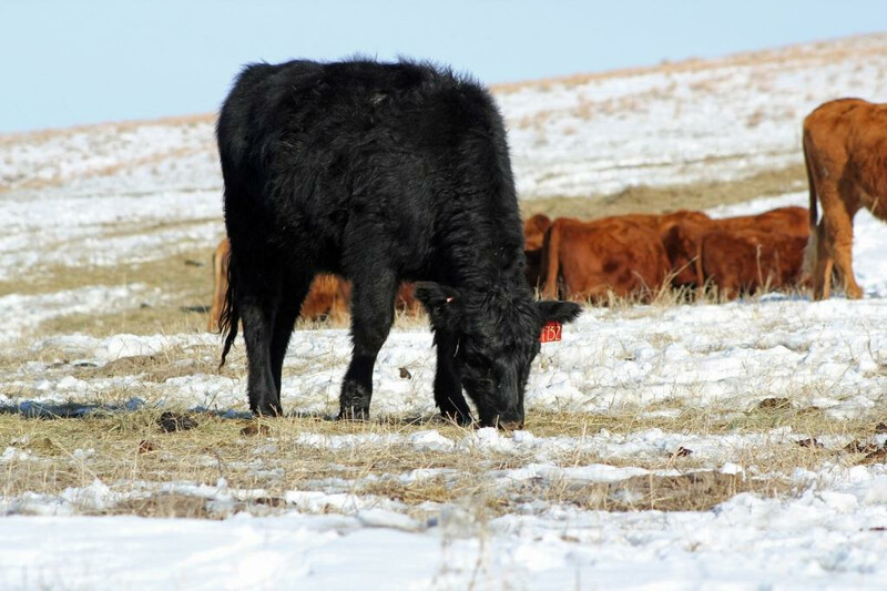 UNL Cattle Snow Winter