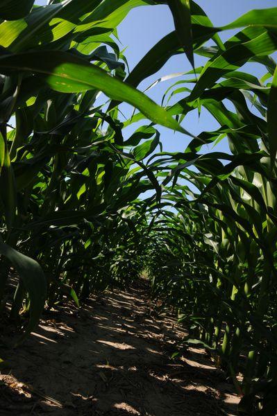 Corn canopy 2