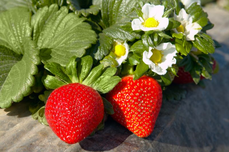 Big California volume was contributing to low shipping point prices and strong promotion opportunities for California strawberries in mid-May.