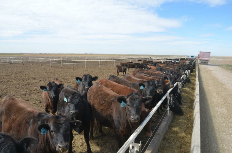 Full Circle Jersey Feeder Cattle