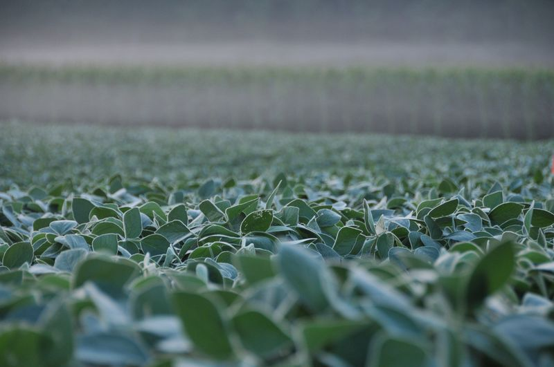 Soybeans 02
