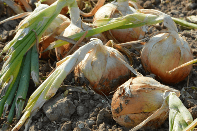 Idaho-E.Oregon-onions