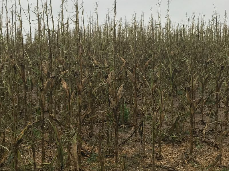 As Pro Farmer Crop Tour scouts make their way through Nebraska, they found three distinct paths damaged by hail. It's not extremely widespread, but the damage will likely lead to increased risk of disease.