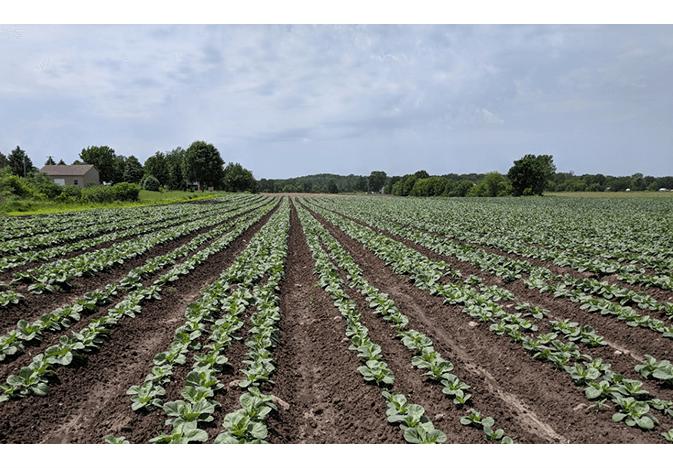 E. Miedema cabbage