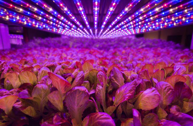 3-AeroFarms LEDS Growing 2