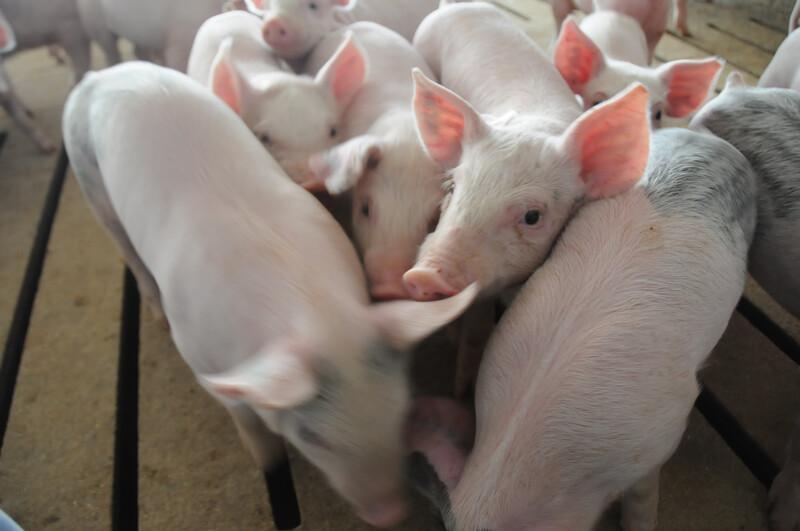 Piglets_pigs_baby swine (60)
