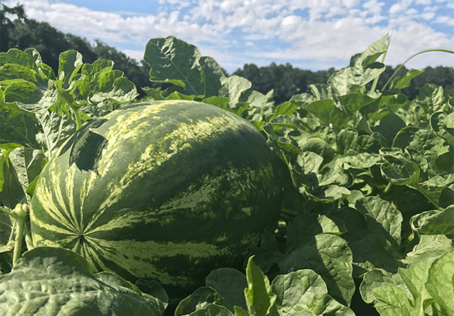 Jackson Farming Co. watermelon