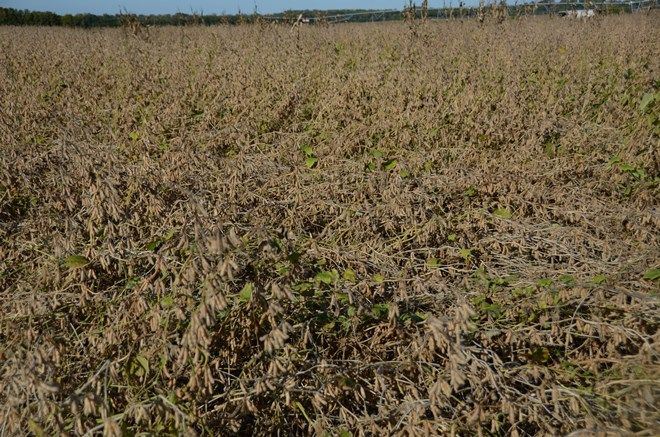 Lodged Soybeans