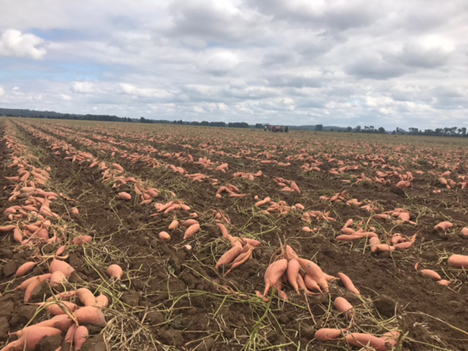 SMP_sweet-potato-field