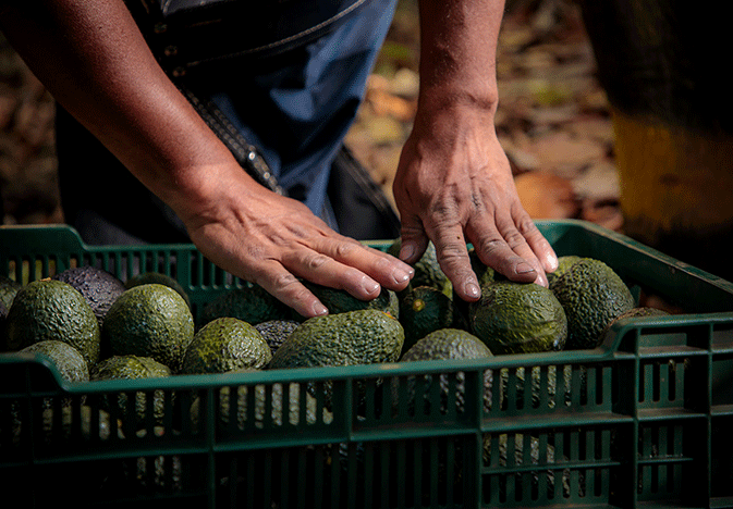 prometo-produce-fairtrade-avocados_WEB