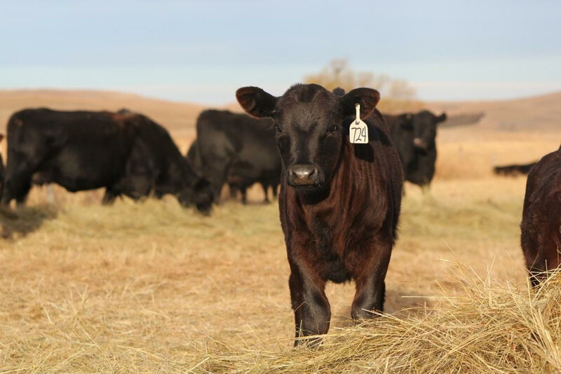 UNL Calf Winter Hay