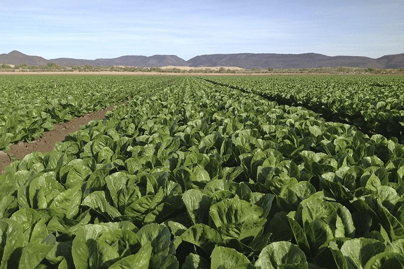T&A-organic-romaine-field