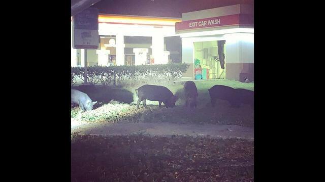 Tampa Wild Pigs