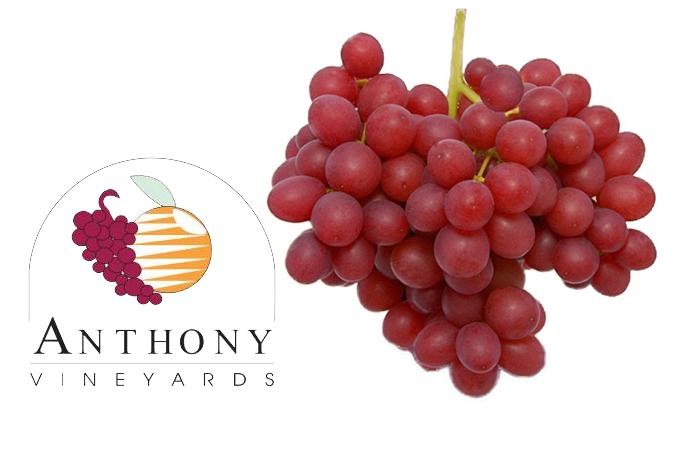 Anthony-Vineyards-SweetScarlet-grapes