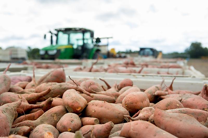 Bland-farms-sweet-potato-harvest