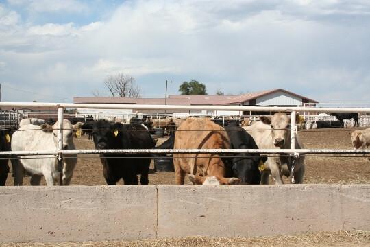 Calves in pen (540x360)