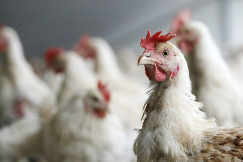 Chicken-bird_1